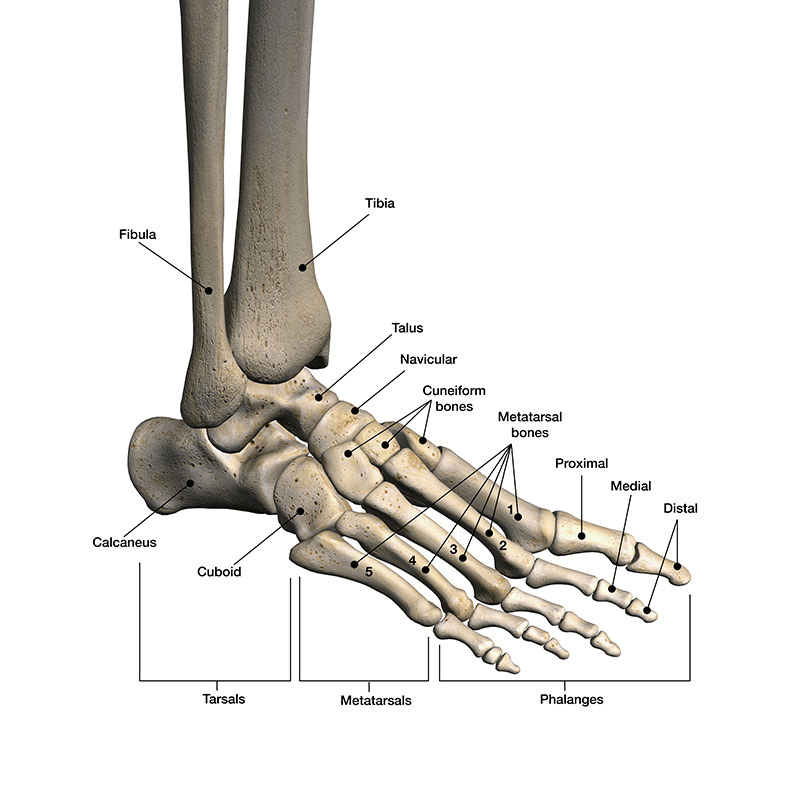 The anatomy of the foot and ankle.